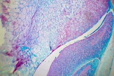 Microscopic image of Microscopic image of nymphaea of aqustio stem
